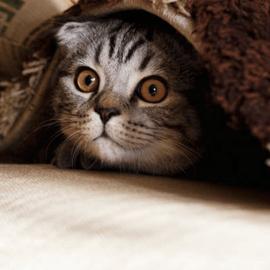 Pisica castrata