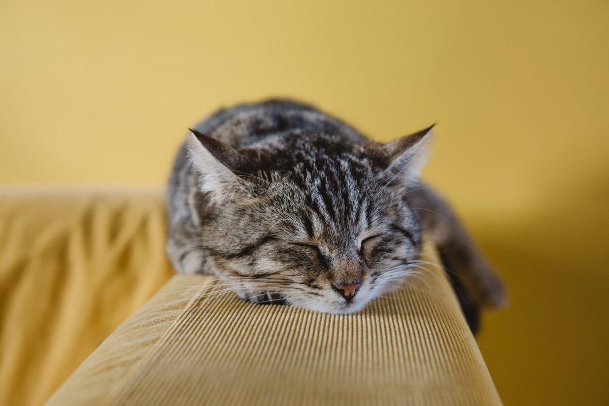Pisica sterilizata