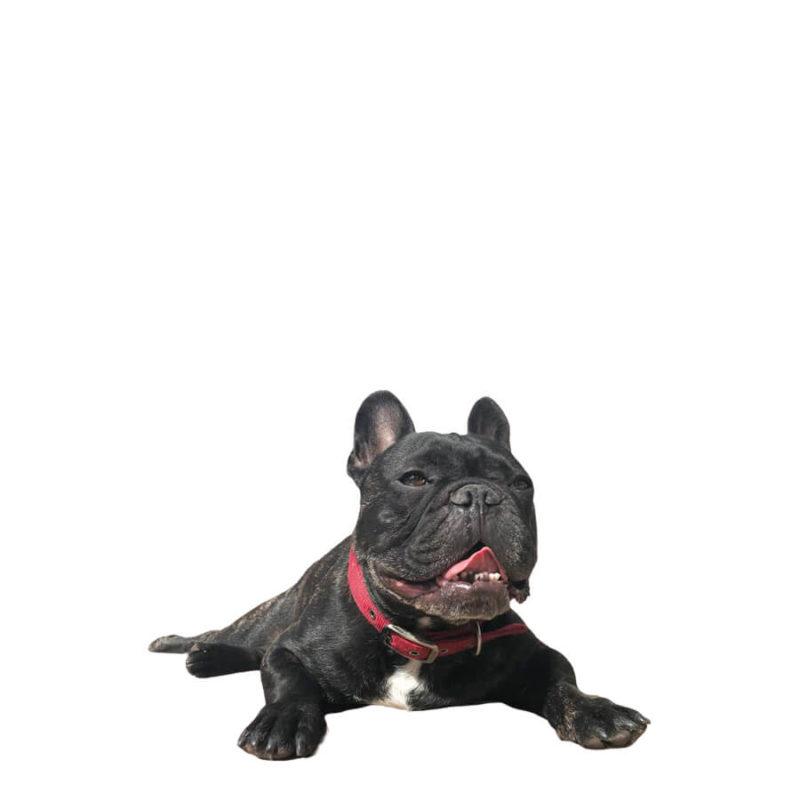 rasa caine bulldog francez